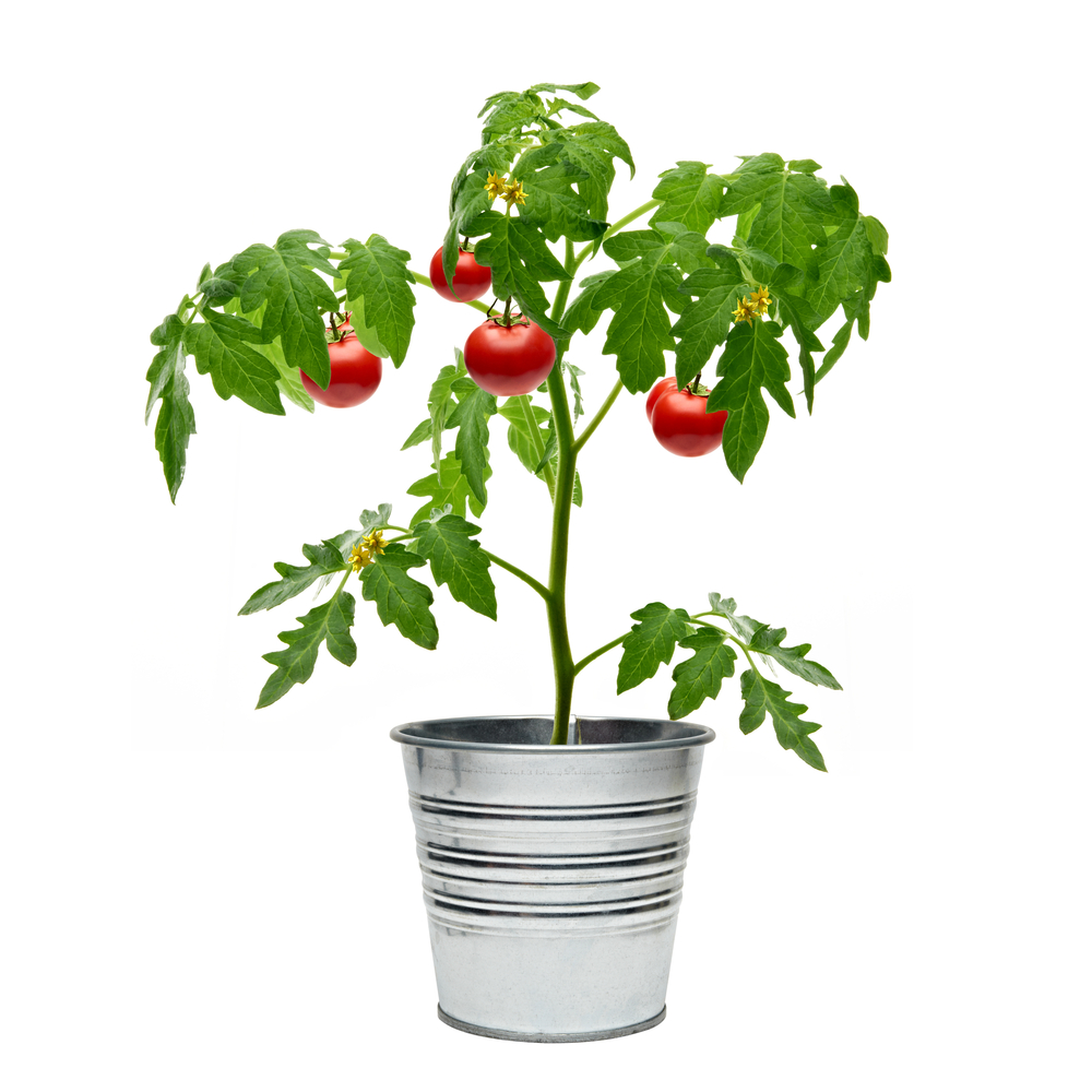 Spraying salicylic acid or asprin on your tomato plant can help reduce disease.