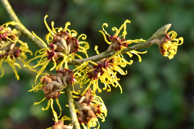 Closeup of witch hazel flower in full bloom in New Zealand.