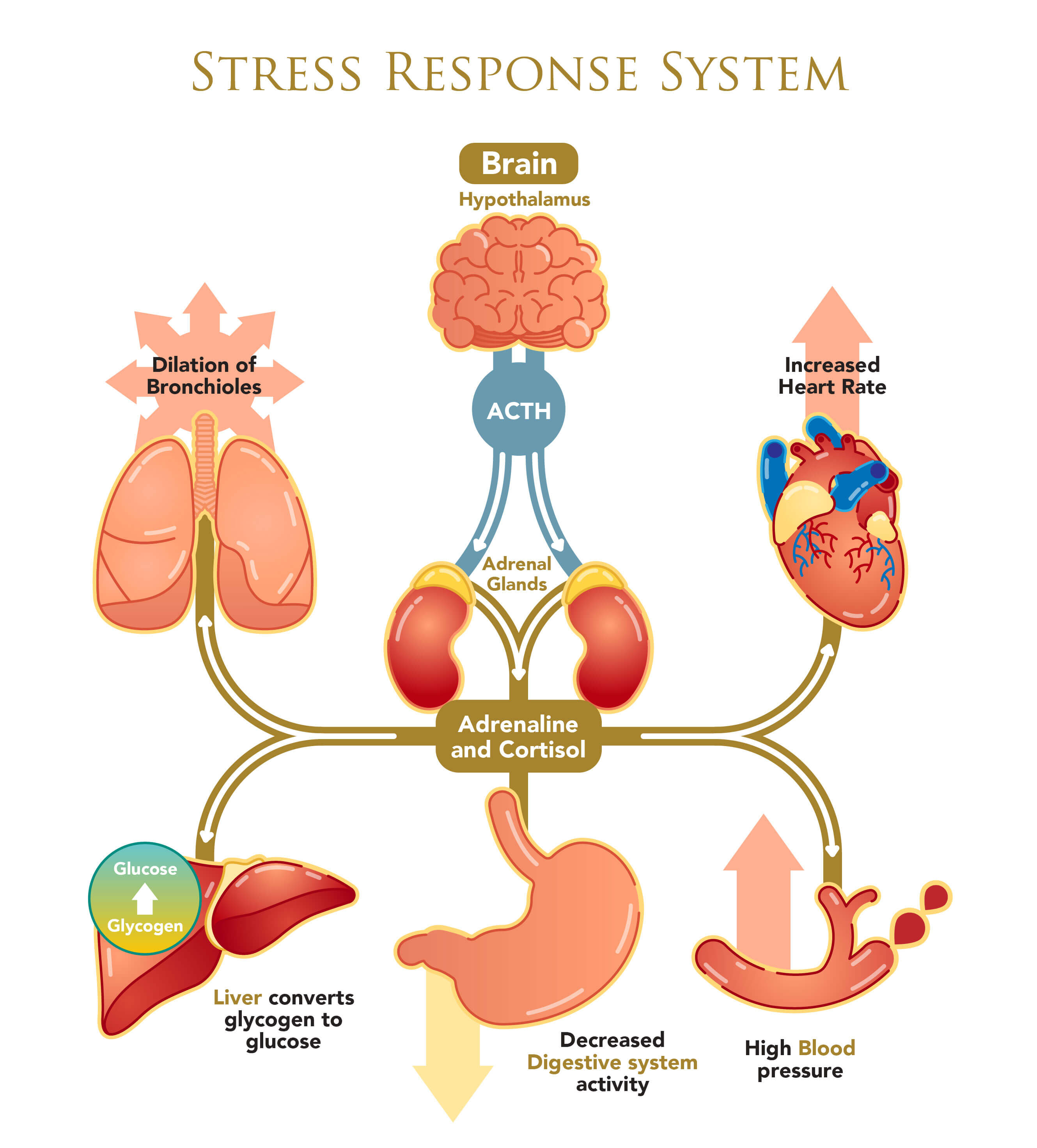 Infographic of stress response system