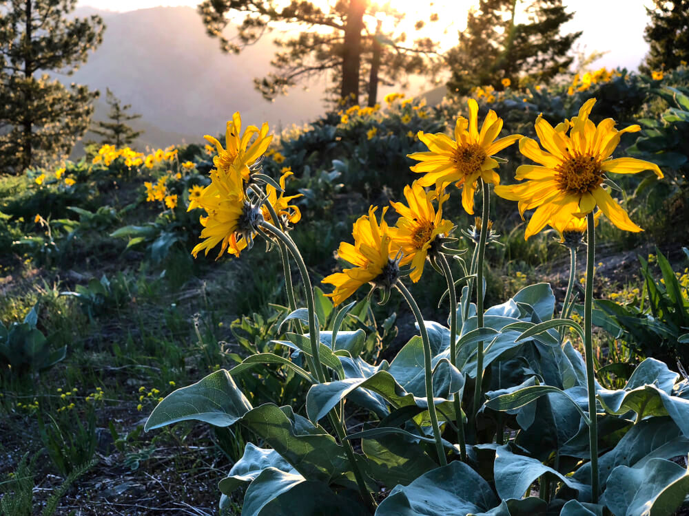 Arnica Montana flowers in the wild
