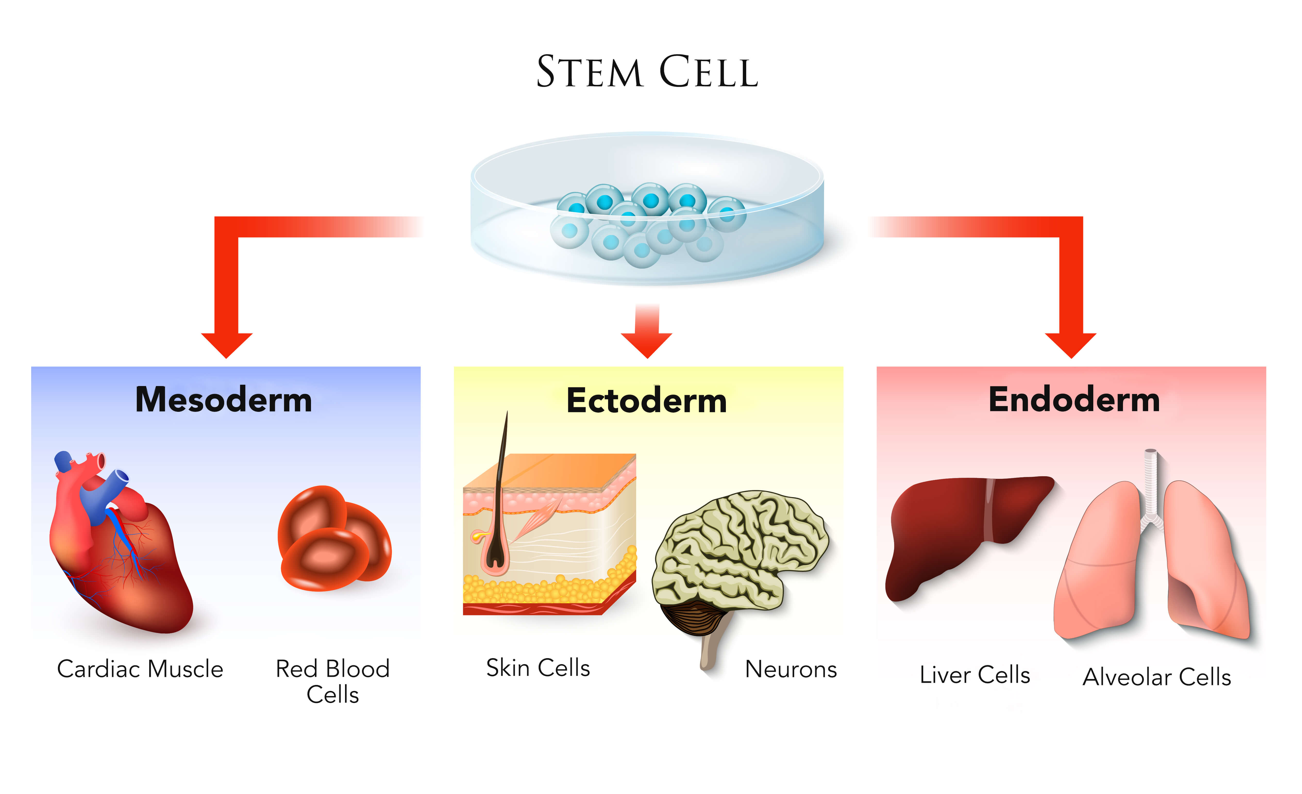Infographic on the potential uses of stem cells