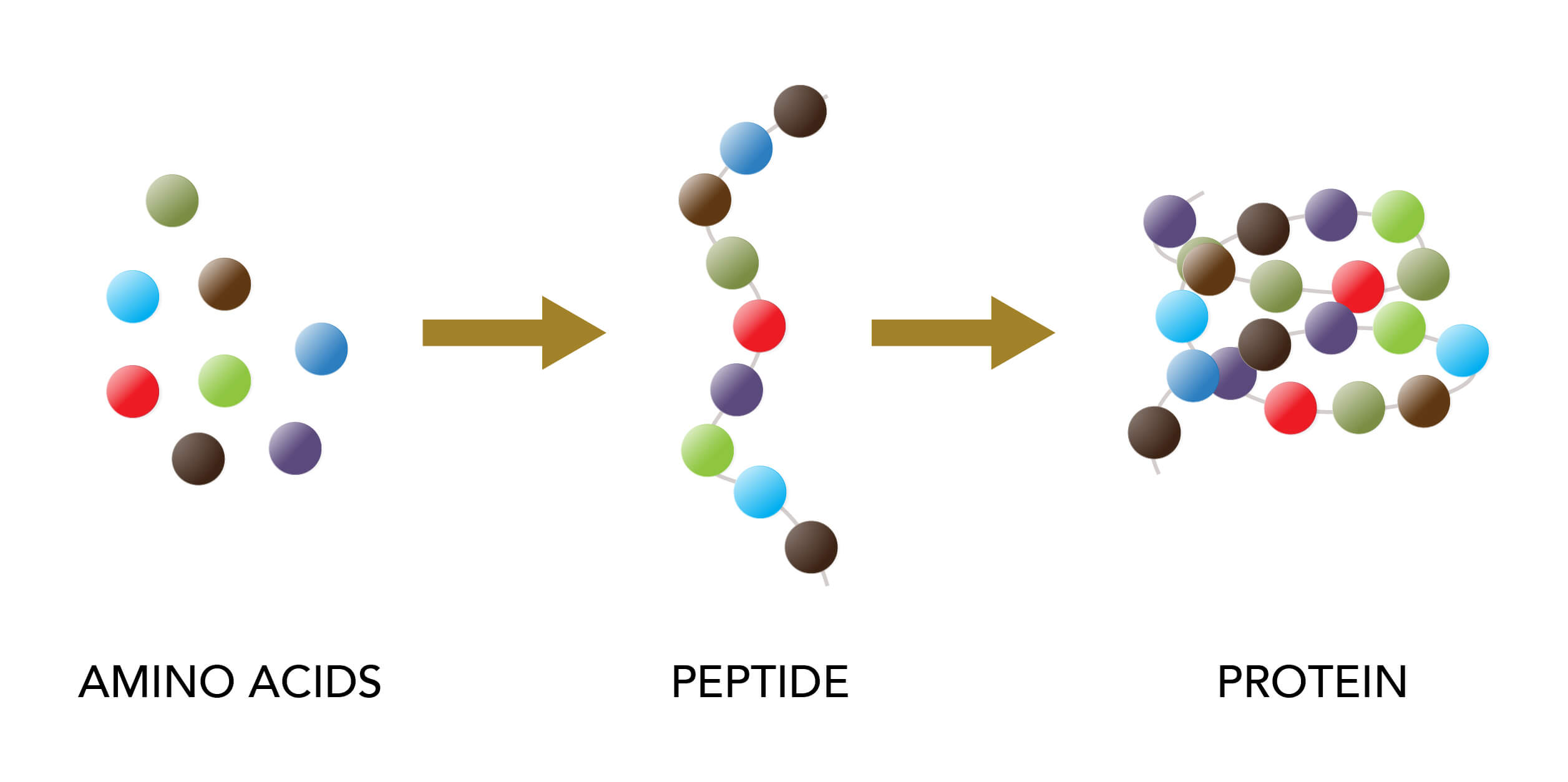 Infographic on peptides