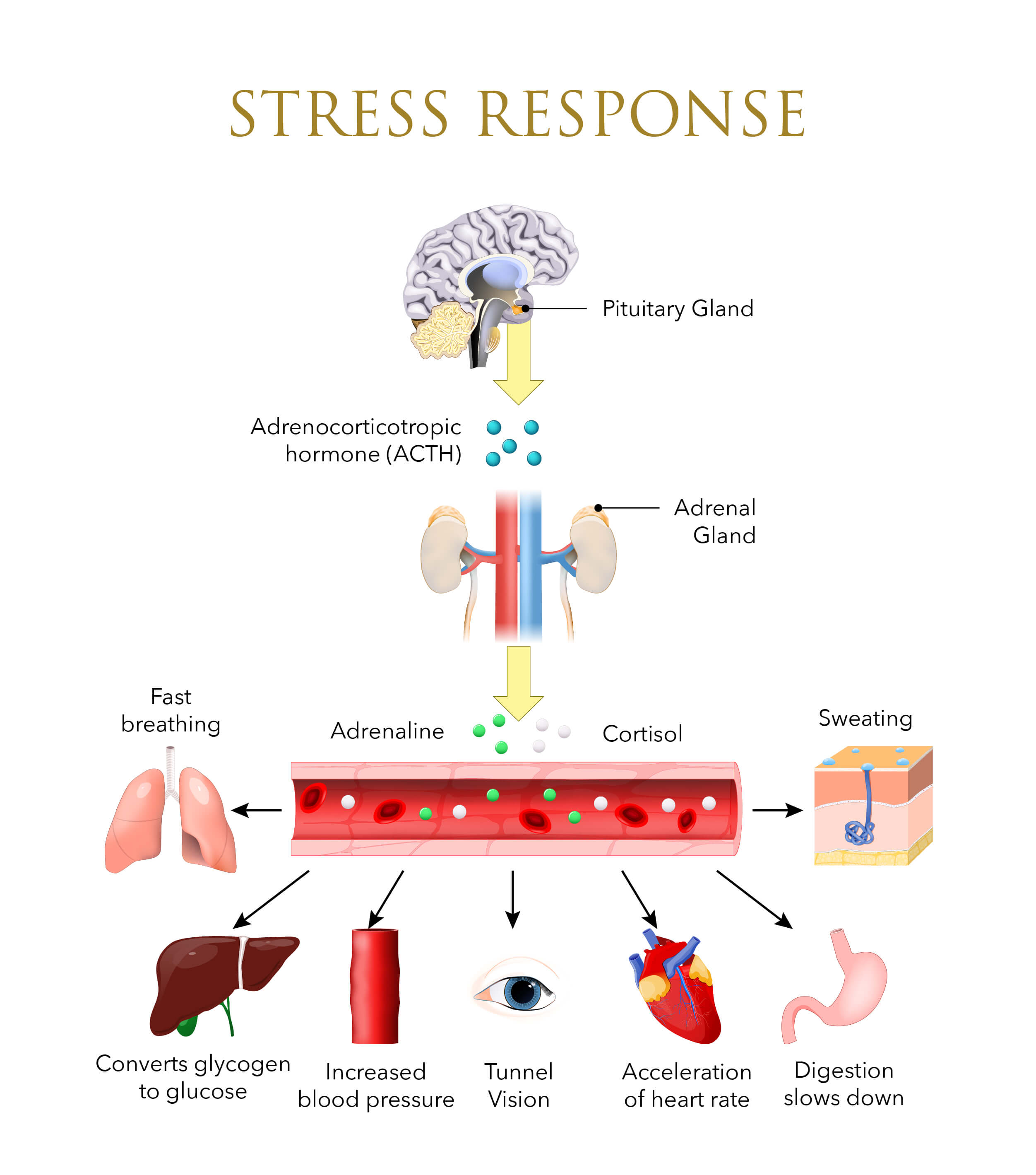Infographic on the body's stress response system