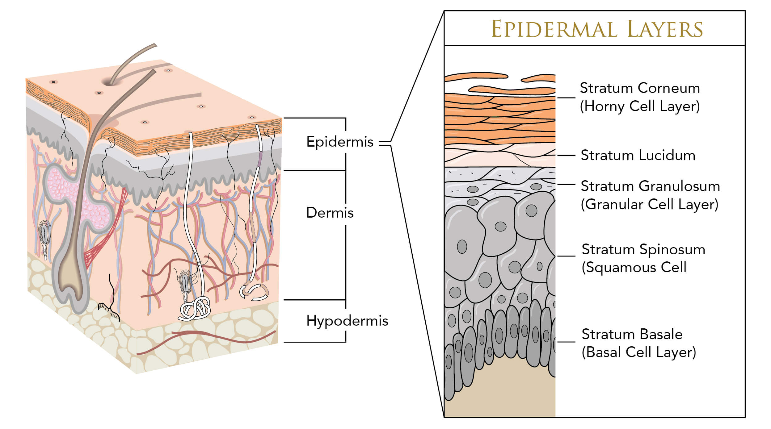 Infographic showing the layers of skin